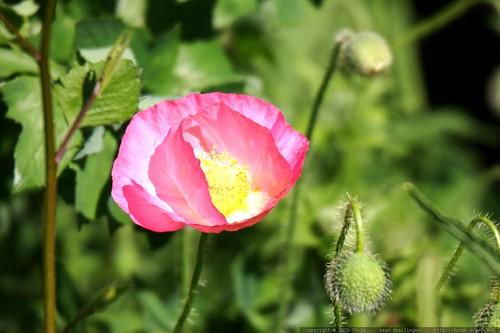 poppy    MG 4363