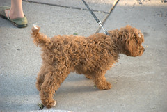 welsh terrier(0.0), american water spaniel(0.0), toy poodle(1.0), miniature poodle(1.0), dog breed(1.0), animal(1.0), dog(1.0), schnoodle(1.0), pet(1.0), lagotto romagnolo(1.0), glen of imaal terrier(1.0), poodle crossbreed(1.0), dandie dinmont terrier(1.0), cockapoo(1.0), goldendoodle(1.0), spanish water dog(1.0), cavapoo(1.0), barbet(1.0), carnivoran(1.0),