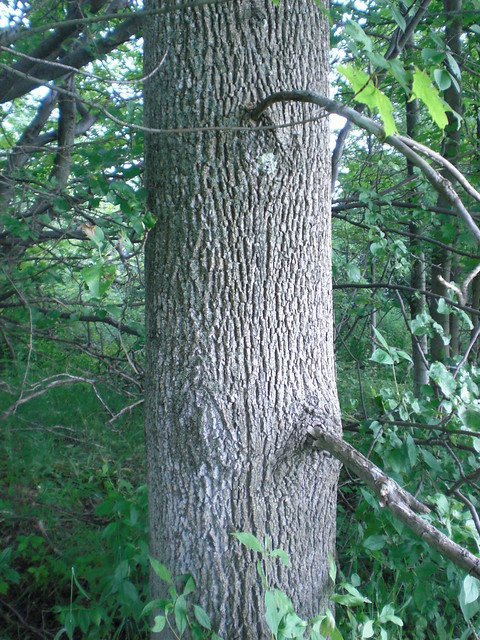 Ash Wood Bark ~ Ash tree bark flickr photo sharing
