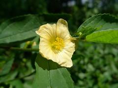 Sida acuta flower