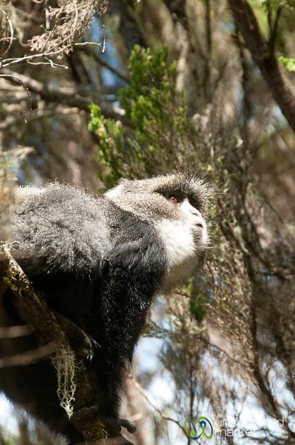 Black and White Colobus Monkey - Mt. Kilimanjaro, Tanzania
