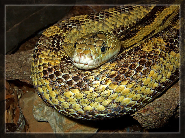 Yellow Snake - Lake Erie Nature & Science Center - Bay Village Ohio
