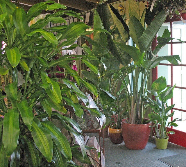 Indoor Plants Tall Green Leafed Flickr Photo Sharing