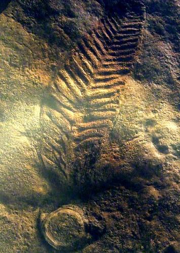 Charniodiscus arboreus