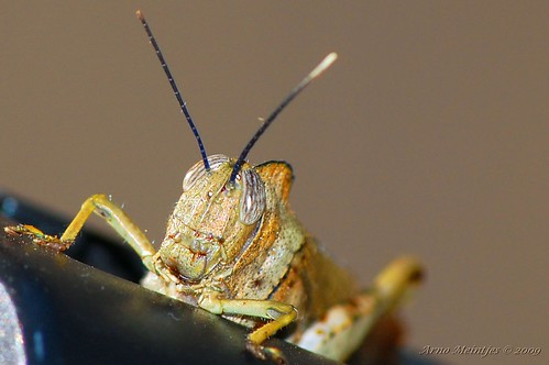 Grasshopper on tripod
