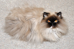 domestic long-haired cat, animal, persian, small to medium-sized cats, pet, cat, carnivoran, whiskers, birman, himalayan,