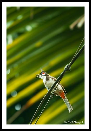india home birds canon kerala faves beautifulcolors bulbul coconutleaves redwhiskeredbulbul birdsofindia 400d canon70200f4lis birdsofkerala muvattupuzha vishutrip2009