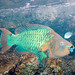Rainbow Parrotfish - Photo (c) Paul Asman and Jill Lenoble, some rights reserved (CC BY)
