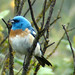 Lazuli Bunting - Photo (c) Maggie.Smith, some rights reserved (CC BY-NC)