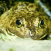 Small photo of American Bullfrog (Lithobates catesbeianus)