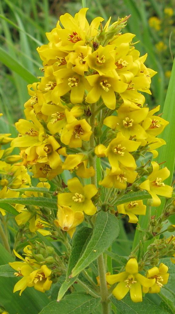 Yellow Loostrife (Lysimachia vulgaris) Pebsham    Phil