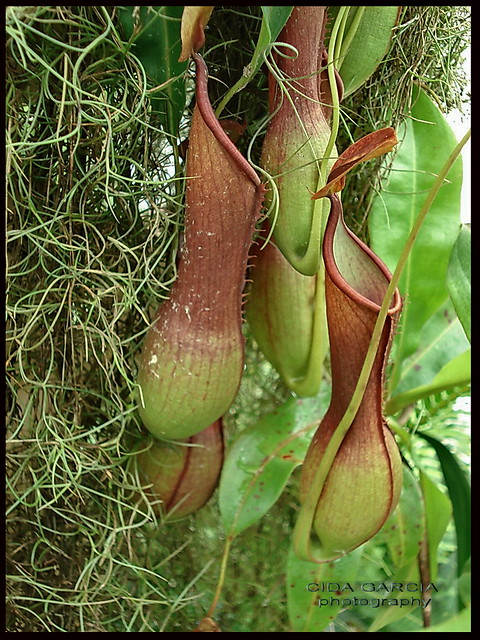 Plantas carnívorasJardim Botânico do Rio de JaneiroBrasil  Flickr