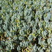 Small photo of Ice plant!!!!