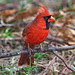 Male Northern Cardinal - Scroll down ↓ for more! by Tony Tanoury