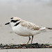 Snowy Plover - Photo (c) Steve Berardi, some rights reserved (CC BY-SA)