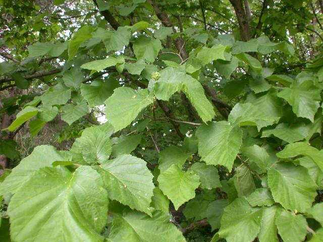 [Corylaceae] Corylus ferox