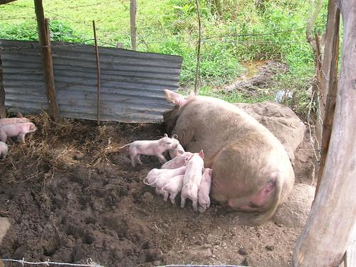 republica geotagged pig dominicanrepublic farm dr dominicana piglet ciénaga geo:lat=19065895 geo:lon=70862026