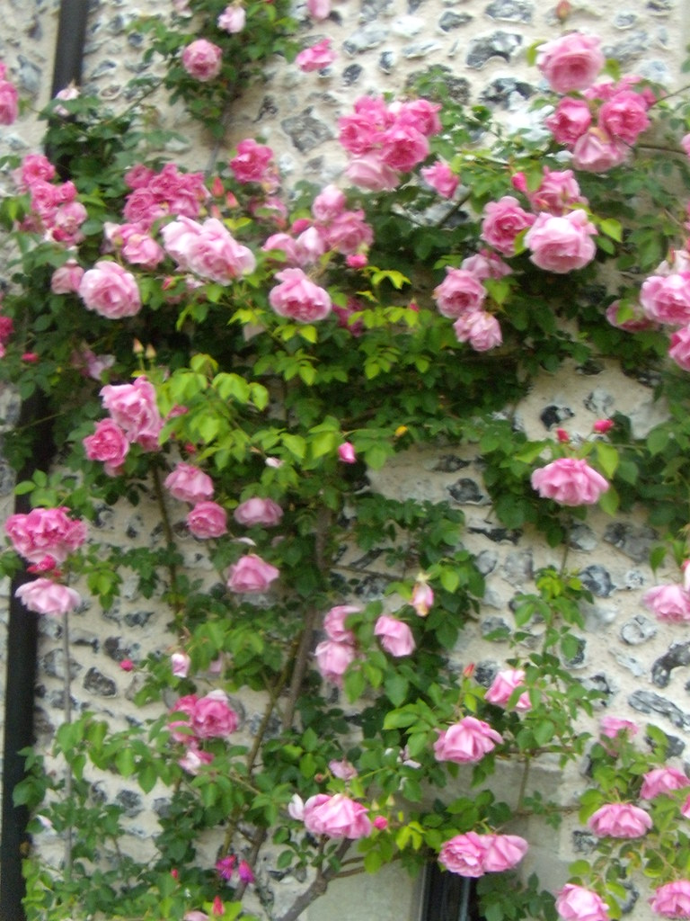 Roses West Dean Glynde to Seaford