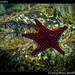Sea stars, Juncalito