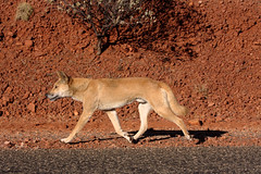 cougar(0.0), puma(0.0), animal(1.0), dingo(1.0), mammal(1.0), fauna(1.0), wildlife(1.0),