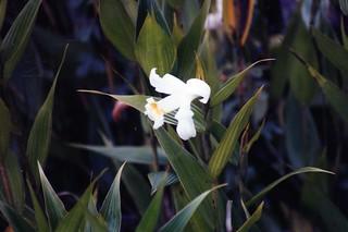 Sobralia species at Machu Picchu