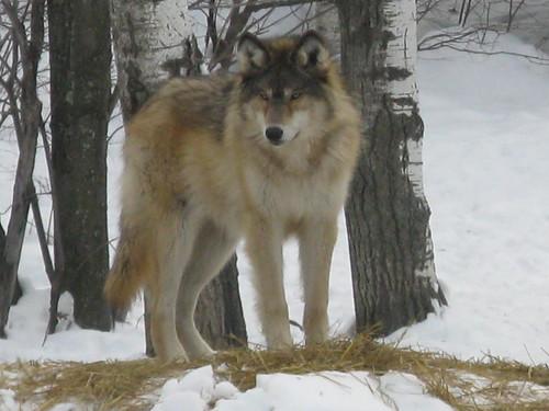 Grey Wolf 223