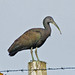 Green Ibis - Photo (c) Jerry Oldenettel, some rights reserved (CC BY-NC-SA)