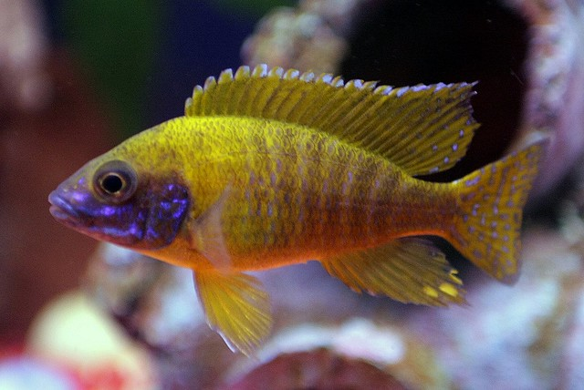 African cichlid fish flickr photo sharing for African cichlid fish