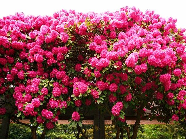 Huge rhododendron bush flickr photo sharing - Rododendro arbol ...