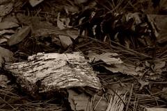 Sepia Birch Bark