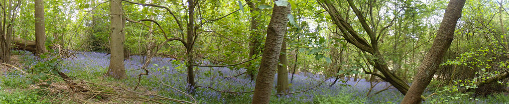 Bluebells - sea of Hurst Green to Chiddingstone Causeway