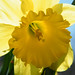 98b:365 Bee's-eye view of daffodil (2 of 2)