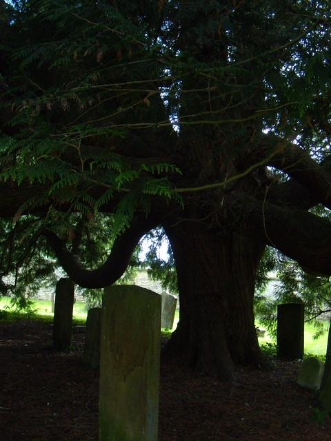 Yew, Churchyard, Charlbury