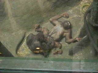 orangutan sex with girl