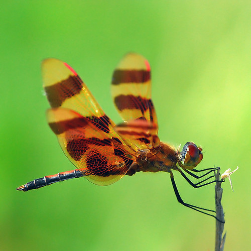 Dragonfly - windy day... :-)