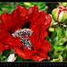 Mohnblume, Poppy, Amapola...(red power)
