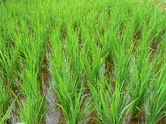 prairie, agriculture, sweet grass, field, plant, chrysopogon zizanioides, herb, paddy field, crop, grassland,