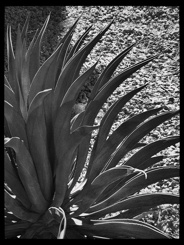 plant nature landscape blackwhite framed agave toned lightshadow hypothetical naturalabstract forgottentreasures fujifilmfinepixs5700 awardtree bienvenidostodoslosrecuerdosallmemorieswelcome dscf5368 artloveaward mailexchangeart showthebest daarklands crazyandgeniusesfolliegeni thehypotheticalawards