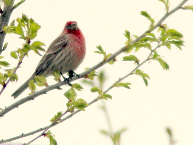 House Finch 20110503