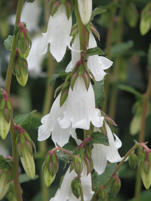 Campanula alliarifolia