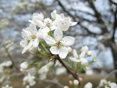 blossom, flower, branch, plant, wildflower, flora, prunus spinosa, cherry blossom, spring,