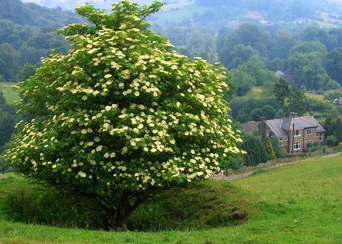 Как выглядит дерево бузина