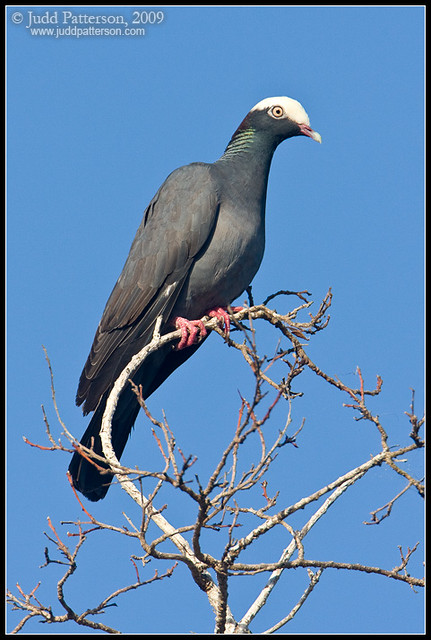 White crowned pigeon - photo#29
