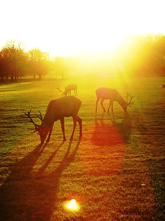 Reindeer in sunlight
