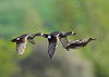 Gadwalls in flight by Jerry Ting