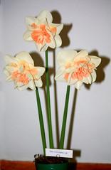 Narcissus  'Delnashaugh'