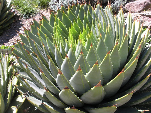 Spiral aloe - south Africa Garden by sftrajan