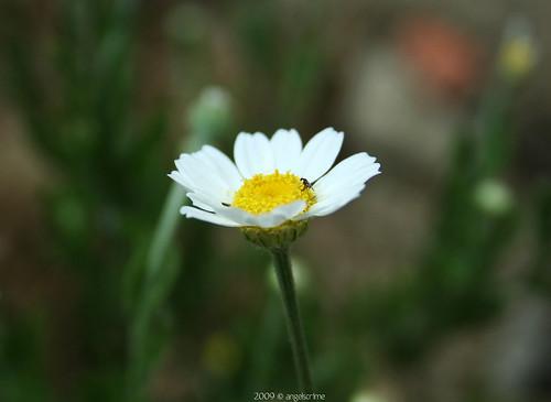 summer white black flower macro green animal yellow bug insect kamilla virág camomile zöld fekete rovar sárga fehér bogár makró