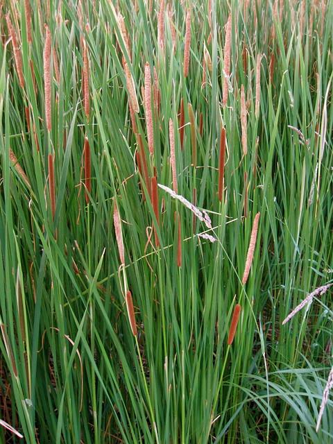 Pond grasses flickr photo sharing for Pond grass plants