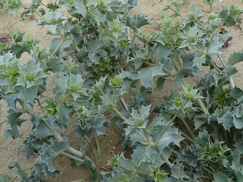 Les plantes piquantes et urticantes for Plantes belgique